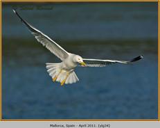 yellow-legged-gull-34.jpg