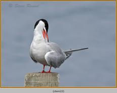 common-tern-22.jpg