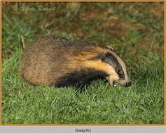badger-36.jpg
