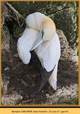 gannet-14.jpg