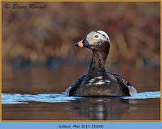 long-tailed-duck-39.jpg