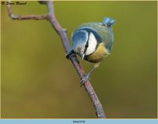 blue-tit-154.jpg