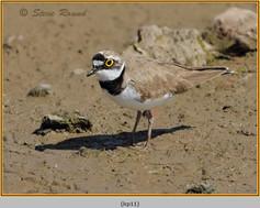 little-ringed-plover-11.jpg