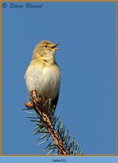willow-warbler-33.jpg