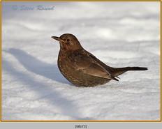blackbird-73.jpg