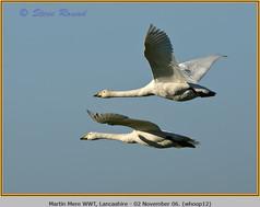 whooper-swan-12.jpg