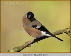 bullfinch-43.jpg