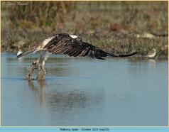 osprey-53.jpg