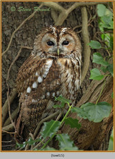 tawny-owl-15.jpg