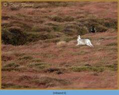 mountain-hare-15.jpg