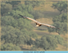 griffon-vulture-89.jpg