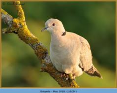 collared-dove-24.jpg