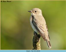 spotted-flycatcher-48.jpg