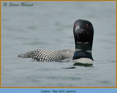 great-northern-diver-51.jpg