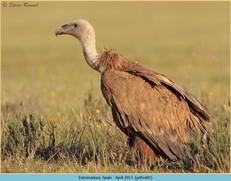 griffon-vulture-43.jpg