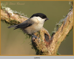 willow-tit-04.jpg