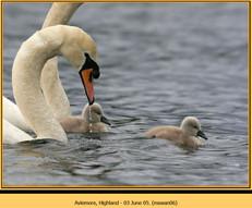 mute-swan-06.jpg