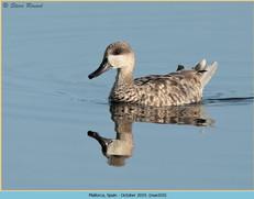 marbled-duck-10.jpg