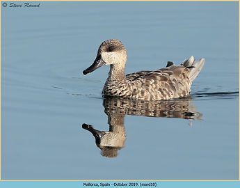Marbled Duck, Marmaronetta angustirostris swimming on blue water, reflected