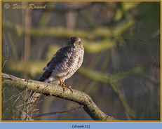 sparrowhawk-11.jpg