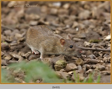 brown-rat-03.jpg