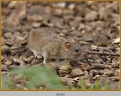 brown-rat-03.jpg