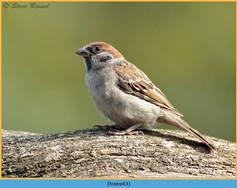 tree-sparrow-43.jpg