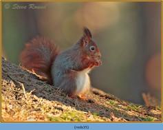 red-squirrel-35.jpg
