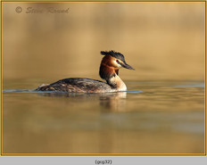 great-crested-grebe-32.jpg