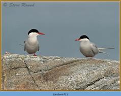 arctic-tern-71.jpg