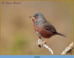 dartford-warbler-08.jpg
