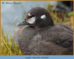 harlequin-duck-24.jpg
