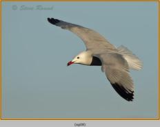 audouin's-gull-08.jpg