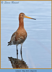black-tailed-godwit-110.jpg