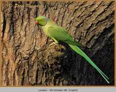 ring-necked-parakeet-05.jpg