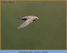 alpine-swift-15.jpg