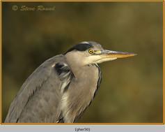 grey-heron-50.jpg