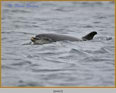 bottlenose-dolphin-13.jpg