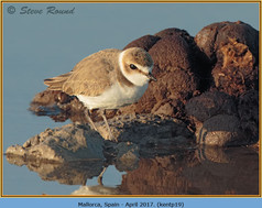 kentish-plover-19.jpg