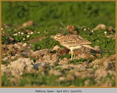 stone-curlew-19.jpg