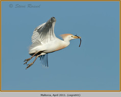 cattle-egret-41.jpg
