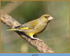 greenfinch-93.jpg