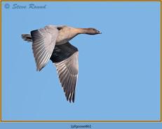 pink-footed-goose-86.jpg