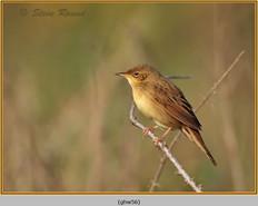 grasshopper-warbler-56.jpg