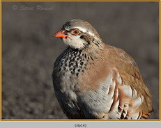 red-legged-partridge-14.jpg
