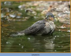 sparrowhawk-22.jpg