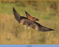 red-kite-77.jpg