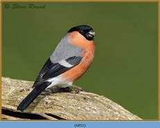 bullfinch-51.jpg