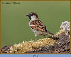 house-sparrow-52.jpg
