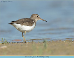 common-sandpiper-33.jpg